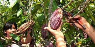 Tabasco Cacao