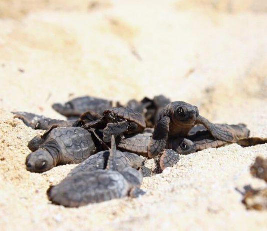 Tortugas bebés